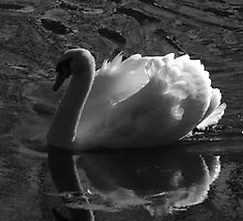 Unfolding Wings-Swan of Light by PineSinger