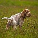 Brown Roan Italian Spinone Pup by heidiannemorris