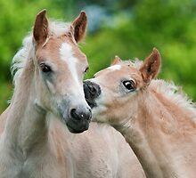 Cuddling Haflinger foals by Katho Menden