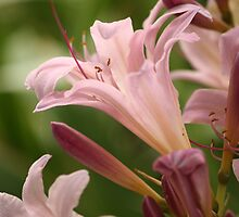 Surprise Lily by Jean Martin