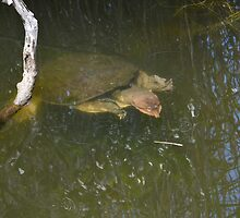 turtle by ideutsch