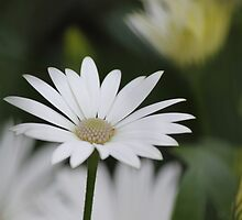 South African Daisy by Kim Chi Thai