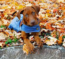 Duke in Denim. by Julie Everhart
