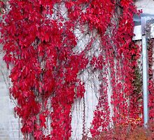 Fiery Red Ivy by kenspics