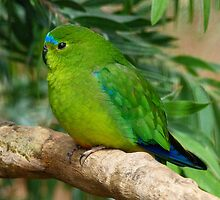 Orange-bellied Parrot 2 by Margaret Saheed