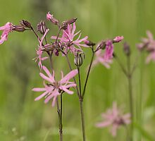 Ragged Robin by Judi Lion