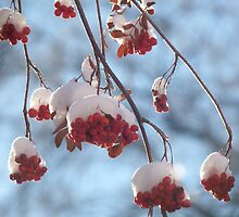 Mountain Ash After a Snowfall by jmc1313