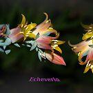 echeveria by StoneAge