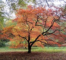 Autumnal Tree - UK by Nicola Barnard