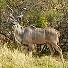 Greater Kudu by Linda Sparks