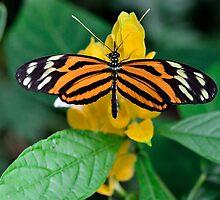Danaus plexippus / Monarchvlinder  by MaartenMR