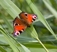 Peacock Butterfly by Sue Robinson
