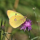 Beautiful Clouded Yellow Butterfly by hummingbirds