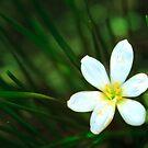 White Blue-Eyed Grass Flower by Silken Photography