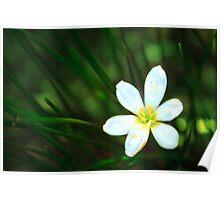 White Blue-Eyed Grass Flower Poster