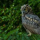 Great Horned Owl. by BarryHetschko