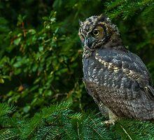 Great Horned Owl. by BarryHetschko