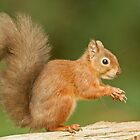 Red Squirrel by Alan Forder