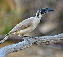 Silver-crowned Friabird taken at Timber Creek NT. by Alwyn Simple
