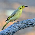 0611_8707 Yellow_tinted Honeyeater_Timber Creek by Alwyn Simple