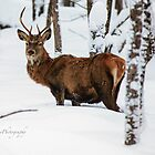 Winter Buck -  by Yannik Hay