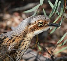 Bush-Stone Curlew by Nick Delany