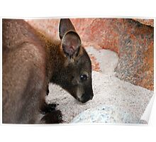 Bennett's Wallaby On Beach Poster