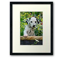 Hey, I`m a Dalmatian puppy Framed Print