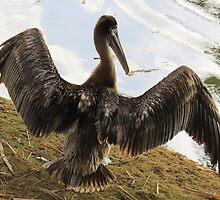 pelican - pelicano by Bernhard Matejka