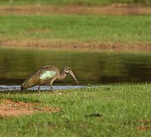 Hadada Ibis by the Gambia River by Sue Robinson