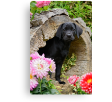 Lab puppy playing hide and seek Canvas Print