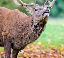 Red deer stag by picsl8