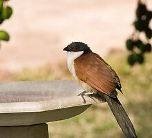 Senegal Coucal by Sue Robinson