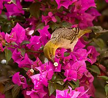 Village Weaver on Bougainvillea by Sue Robinson