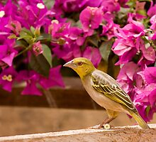 Village Weaver with flower by Sue Robinson