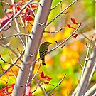 Blue-Headed Vireo  by Diana Graves Photography
