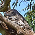 Mother & Child ~ Tawney Frogmouth by Robert Elliott