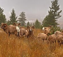 Columbia Rams by JamesA1