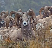 Resting Rams by JamesA1