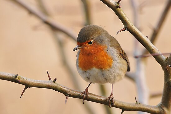 Robin by Heather Thorsen