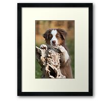 Curious Aussie Puppy Framed Print