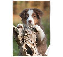 Curious Aussie Puppy Poster