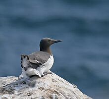 Common Guillemot resting by Sue Robinson