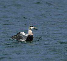 Eider Duck flapping wings by Sue Robinson