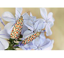 Crimson Speckled Moths Photographic Print