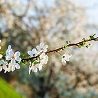 Blooming apple tree branch by Yevgeni Kacnelson