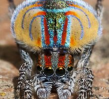 Peacock Spider iPhone Case by xXMartinXx