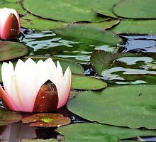 Lotus Serenity by Cindy Hitch