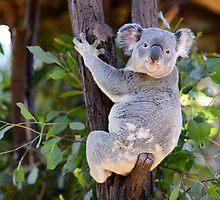 The Cuddly Koala by artistrobd