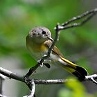 Wonderful Female Redstart by RoyceRocks